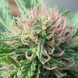 Marijuana cultivée biologiqement