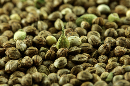 Graines de cannabis marijuana biologique