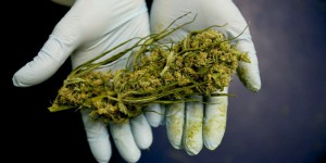 Cannabis bio thérapeutique