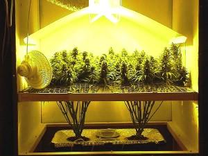 Culture de marijuana bio en intérieur sous lampes HP sodium